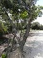 Alzina al passeig de les Aigües prop del turó de Valldaura P1240328.JPG