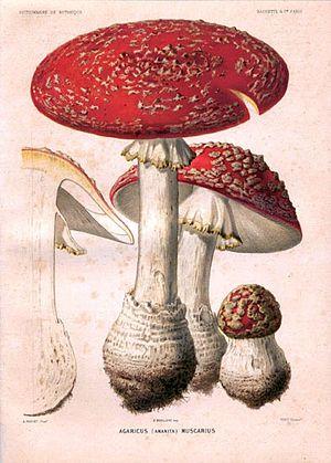 Auguste Faguet - Amanita muscaria L.