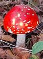 Amanita muscaria 19.jpg