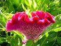 Amaranthus (7).jpg