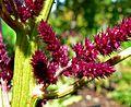 Amaranthus cruentus Foxtail 2.jpg