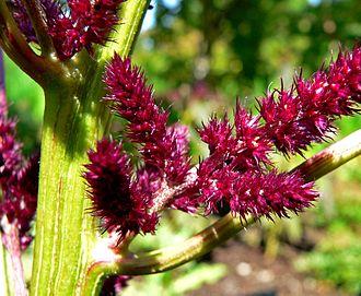 Amaranthus cruentus - Image: Amaranthus cruentus Foxtail 2