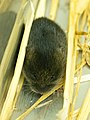 Amargosa Vole (Microtus californicus scirpensis).jpg
