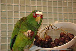 Amazona albifrons -pet eating grapes-8a.jpg