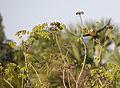Amazona leucocephala -Matanzas, Matanzas Province, Cuba -two-8 (2).jpg