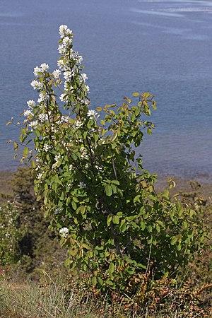 Amelanchier alnifolia - A. a. var. semiintegrifolia; Skagit Bay, Washington