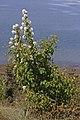 Amelanchier alnifolia 6338.JPG
