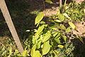 Amelanchier lamarckii 007.jpg