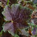 American Alumroot Heuchera americana 'Garnet' Leaf 2000px.jpg