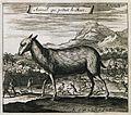Aminal qui produit le Musc - Tavernier Jean Baptiste - 1703.jpg
