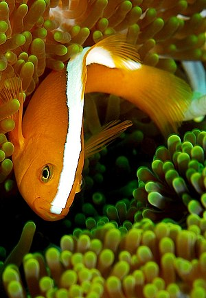 Amphiprion akallopisos - Image: Amphiprion sandaracinos