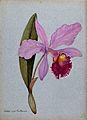 An orchid (Cattleya gigas Sauderiana); flowering stem. Water Wellcome V0043269.jpg