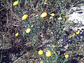 Anacyclus valentinus LaMata.jpg