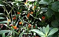 Anartia amathea - Asclepias curassavica - Schmetterlinghaus Burggarten Wien 01.jpg