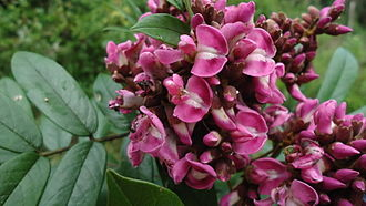 Andira - Andira fraxinifolia