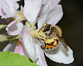 Andrena melittoides female 2.jpg