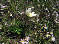 Anemone baldensis M. Baldo Anemone.JPG