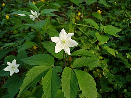 Anemone trifoliata.JPG