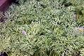 Anethum graveolens 1zz.jpg
