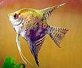 Angel fish001.jpg