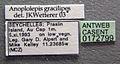 Anoplolepis gracilipes casent0172799 label 1.jpg