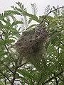 Ant nest on tarmarind tree.jpg