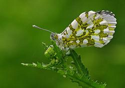 Une femelle, les ailes repliées.