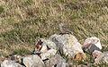 Anthus spinoletta - Water Pipit, Giresun 01-2.jpg