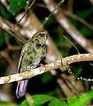 Antilophia galeata -Reserva Ambiental, Piraju, Sao Paulo, Brasil -female-8.jpg