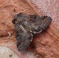 Apamea illyria. Noctuidae Xyleninae Apameini Apameina - Flickr - gailhampshire.jpg