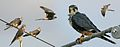 Aplomado Falcon From The Crossley ID Guide Eastern Birds.jpg