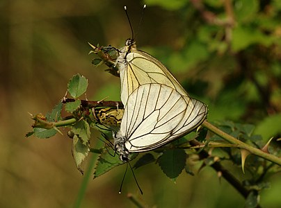 a mating pair of Aporia crataegi