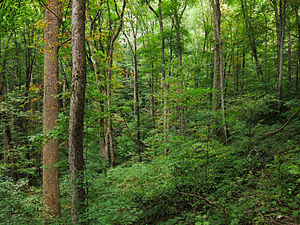 Cove (Appalachian Mountains) - Cove forest near Baxter Creek in the Great Smoky Mountains.