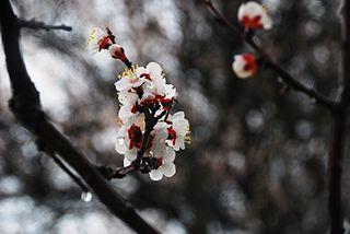 Kvety marhule