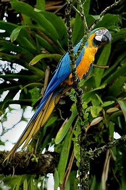 Un ara bleu, au Costa Rica