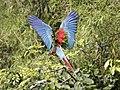 Ara chloropterus -Manu National Park, Peru -flying-8 (2).jpg
