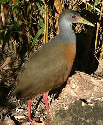 Aramides - Grey-necked wood rail, Aramides cajaneus