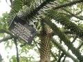 Araucaria Araucana DSCN3783.TIF