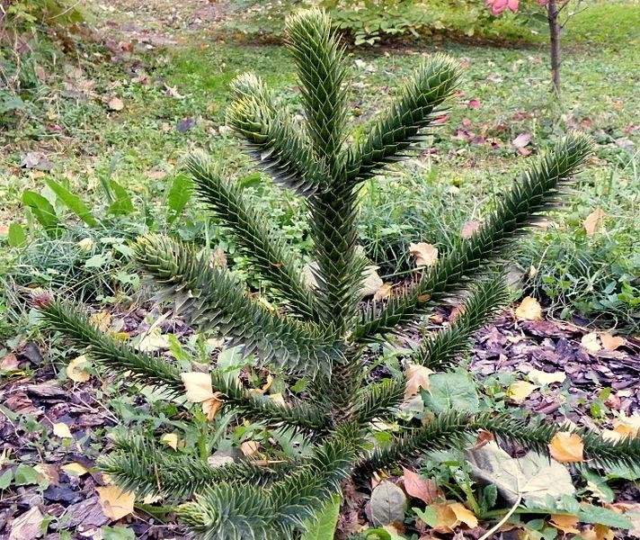 File:Araucaria araucana (3).JPG