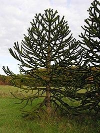 Araucaria araucana ArboretumMT 2.jpg