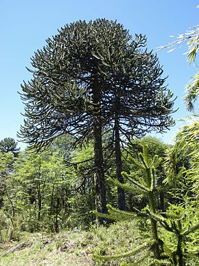 Description de l'image Araucaria araucana by Scott Zona - 002.jpg.