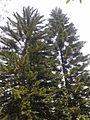 Araucaria columnaris (異葉南洋杉).jpg