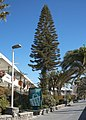 Araucaria columnaris B.jpg