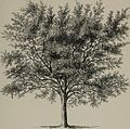 Arboretum et fruticetum britannicum, or - The trees and shrubs of Britain, native and foreign, hardy and half-hardy, pictorially and botanically delineated, and scientifically and popularly described (14803764013).jpg