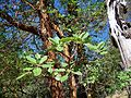 Arbutus menziesii-3.jpg