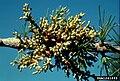 Arceuthobium laricis.jpg