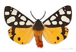 Arctia villica MHNT.jpg