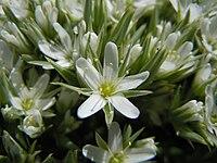 Arenaria franklinii (5387784788).jpg