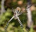 Argiope bruennichi. Araneidae (32059188014).jpg