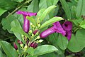 Argyreia cuneata - Purple Morning Glory - at Beechanahalli 2014 (7).jpg